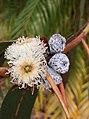 Eucalyptus bicostata - inflorescence.jpg