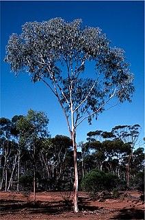 <i>Eucalyptus georgei</i> Species of eucalyptus