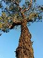 Eucalyptus tricarpa - upper branch bark.jpg
