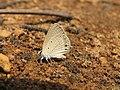 Euchrysops cnejus Fabricius, 1798 – Gram Blue at Aralam Wildlife Sanctuary 2016 (13).jpg