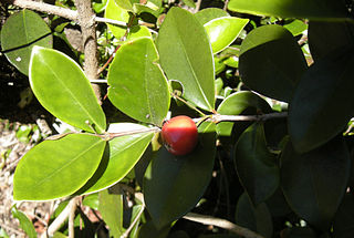 Eugenia reinwadrtiana fruit and foliage.jpg