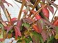 Euonymus alatus6.jpg