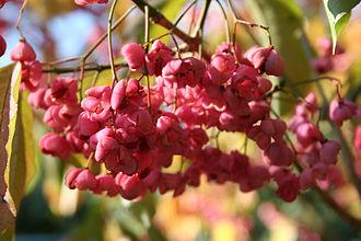 Euonymus hamiltonianus - Image: Euonymus hamiltonianus 'Winter Glory' JPG1b