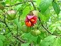 Euonymus sachalinensis BT 02.jpg