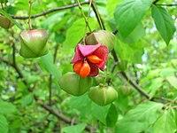 Euonymus sachalinensis BT 02