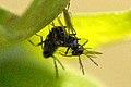 Eupelmus.vesicularis3.-.lindsey.jpg