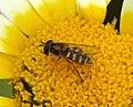 Eupeodes corollae (32286645900).jpg