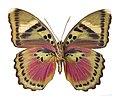 Euphaedra (Xypetana) xypete MHNT ventre.jpg