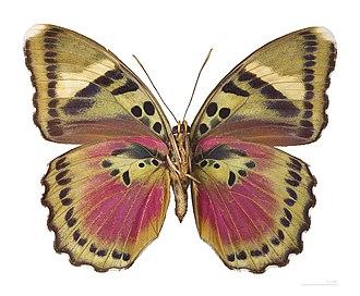 Limenitidinae - Euphaedra xypete (Adoliadini)