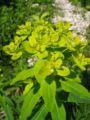 Euphorbia austriaca02.jpg