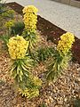 Euphorbia characias Tasmanian tiger.JPG