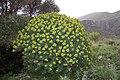 Euphorbia dendroides Zingaro 0054.JPG