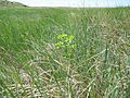 Euphorbia spathulata (7495149438).jpg