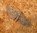 Eupithecia intricata Freyer's Pug - Flickr - gailhampshire.jpg