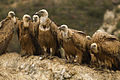 Eurasian Griffons - Catalan Pyrenees - Spain S4E7885 (25098687552).jpg