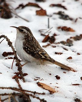 Eurasian Treecreeper in the snow, cropped version.jpg