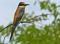 European Bee-eater (Merops apiaster) (11930461484).jpg