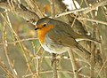 European Robin (Erithacus rubecula) 2.jpg