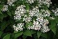 Eurybia macrophylla kz02.jpg