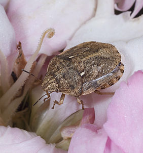 Eurygaster maura on eyelet