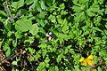 Evans Creek Preserve - 087 - bee in flower (27333099471).jpg