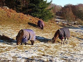 English: Even horses need coats Three small ho...