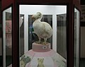 Exhibit of Dodo at Regional Museum of Natural History,Bhopal,India 1.jpg