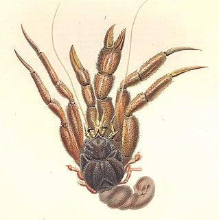 <i>Labidochirus splendescens</i> Species of crustacean