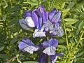 Fabaceae - Vicia dumetorum.jpg