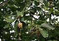 Fagus sylvatica orientalis 1.jpg