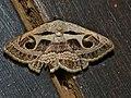 Faint Owl Moth (Cometaster pyrula) (12951939965).jpg