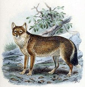 Falklandfuchs (Dusicyon australis) (Lithografie von J. G. Keulemans aus Dogs, Jackals, Wolves, and Foxes: A Monograph of the Canidae, 1890)