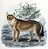 Painting of the only native mammal of the Falkland Islands, the Warrah, which went extinct in the mid-19th century