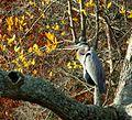 Fall Heron (5220789223).jpg