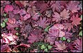 Fallen Autumn Leaves Mt Wilson-1 (26398916120).jpg