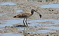 Far Eastern Curlew (Numenius madagascariensis) (31323832326).jpg