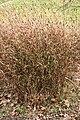 Fargesia-nitida-habitus-flowering.jpg