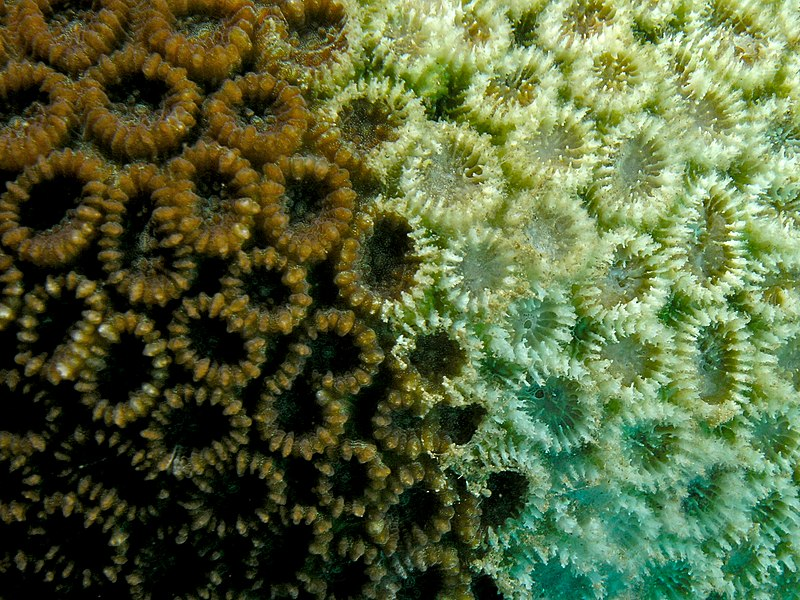 File:Favia pallida (hard coral) with signs of bleaching or crown-of-thorns starfish damage.jpg
