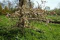 Feeringbury Manor flowering prunus, Feering Essex England 06.jpg