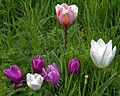 Feeringbury Manor mixed tulip cultivars, Feering Essex England 4.jpg