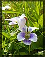 Fehér ibolya (Viola alba).jpg