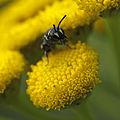 Female Hylaeus bee.jpg