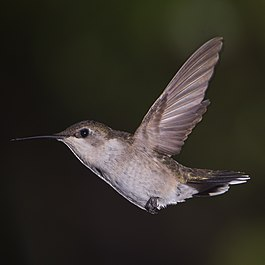Female Ruby Throated Hummingbird.jpg