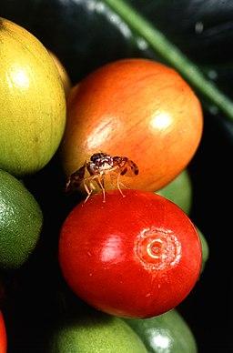 Female medfly