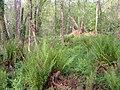 Ferns in Kilnfield Covert - geograph.org.uk - 175548.jpg