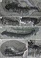 Fibulacaris nereidae anatomy.jpg