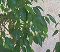 FicusBeniamina1.jpg