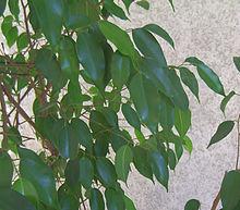 Dettaglio delle foglie.