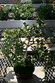 Ficus deltoidea 4zz.jpg