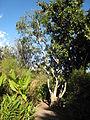 Ficus rubra - Jardin d'Éden.JPG